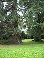 Séquoia d'Ottrott.JPG
