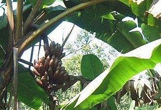 Kitulgala - Red bananas in Kitulgala forest