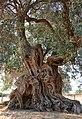 Sa Reina - La Regina, l'olivo più antico di Villamassargia.jpg
