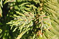 Sacchiphantes.abietis.-.lindsey.jpg