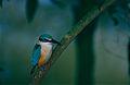 Sacred Kingfisher (Todiramphus sanctus) (9741531191).jpg
