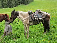 Saddled Altai horse.jpg