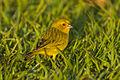 Saffron Finch - Pantanal - Brazil H8O1578 (22764443023).jpg