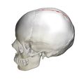 Sagittal suture - skull - lateral view02.png