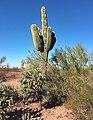 Saguaro-Arizona.jpg