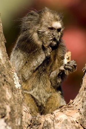 Black-tufted marmoset - Black-tufted marmoset eating a cricket around Serra do Cipó National Park, Brazil (by Leonardo C. Fleck)