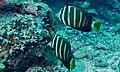 Sailfin Tangs (Zebrasoma velifer) (8506656901).jpg