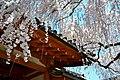 Sakura at Himuro-jinja - panoramio.jpg