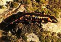 Salamandra salamandra Saarland 018.jpg