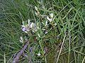 Salix bicolor1.jpg