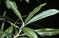 Salix humilis NRCS-1.jpg