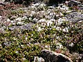 Salix reticulata (5027764096).jpg