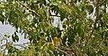 Salvadora persica (Peelu) W IMG 6939.jpg