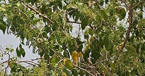 Salvadora persica - Image: Salvadora persica (Peelu) W IMG 6939