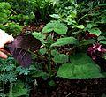 Salvia omeiana Crug Thundercloud - Flickr - peganum (5).jpg