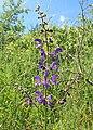 Salvia pratensis kz01.jpg
