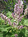 Salvia sclarea01.jpg