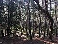 Samneung Pine Forest 2.jpg
