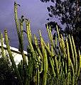 San Pedro cactus -14 feet tall.jpg