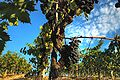 Sangiovese grapevine.jpg