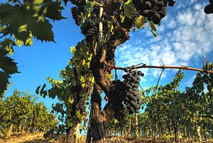 Propagation of grapevines - A Sangiovese grapevine in a vineyard with a cane extended. Prior to this cane developing grape clusters it could have been planted in the ground to propagate by layering.