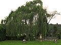 Sauce lloron - Salix babylonica (6943734087).jpg