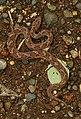 Saw-scaled Viper Echis carinatus by Dr. Raju Kasambe DSCN8698 (6).jpg