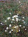 Saxifraga granulata sl19.jpg