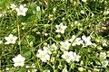 Saxifrage or stitchwort? (Grubigstein) (24037748920).jpg