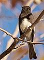 Sayornis nigricans Swainson.jpg