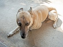 Dog communication - Wikipedia