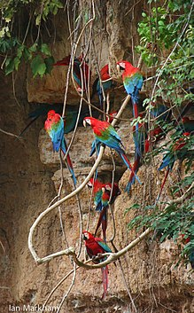 Clay lick with scarlet macaws