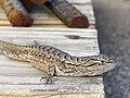 Sceloporus tristichus 140313115.jpg