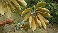 Schefflera morototoni (Aubl.) Maguire, Steyerm. & Frodin (8182052698).jpg
