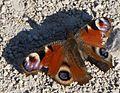 Schmetterling genießt die Sonne.jpg
