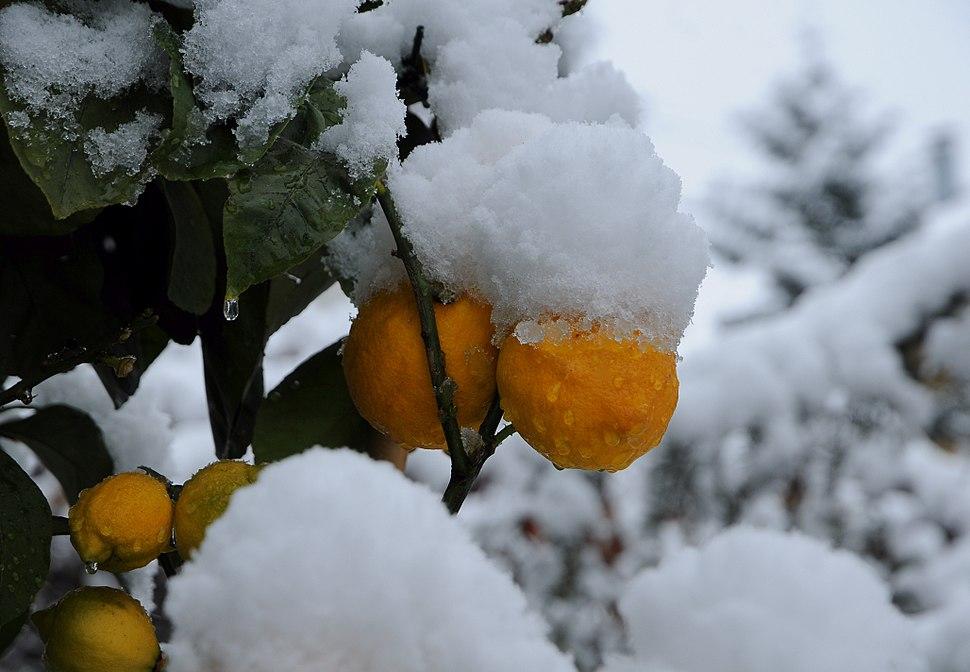 Schnee Orange, Citrus × aurantium 1
