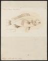 Scolopsis bilineatus - 1774-1804 - Print - Iconographia Zoologica - Special Collections University of Amsterdam - UBA01 IZ13000218.tif