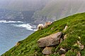 Scottish Blackfaced Sheep St Mary Cape Newfoundland (40650809424).jpg