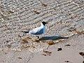 Seagull, Wustrow (P1080217).jpg