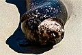 Seal sunbathing at the beach.jpg