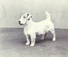 A Sealyham Terrier Photographed In 1915