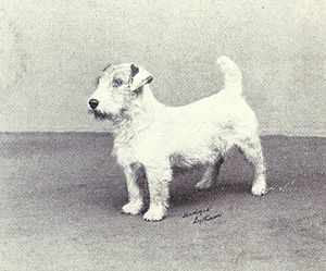 Sealyham Terrier - A Sealyham Terrier photographed in 1915