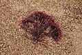 Seaweed (337892428).jpg