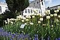 Sejmowe tulipany. Tulipany Lecha i Marii Kaczyńskich.jpg