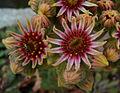 Sempervivum Hybrid 'Purdy's 90-1' Flowers.JPG