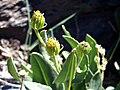 Senecio pyrenaicus subsp. granatensis BlossomCloseup 28July2008 SierraNevada.jpg