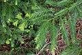 Sequoia sempervirens 07.jpg