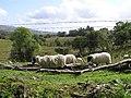 Sheep, Glebe - geograph.org.uk - 1482735.jpg
