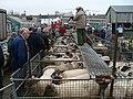 Sheep auction, Newport Cattle Market - geograph.org.uk - 1038044.jpg