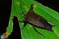 Shield Bug (Mucanum patibulum) (8086458263).jpg